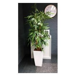 Bamboeplant de Luxe in witte pot 210 cm hoog